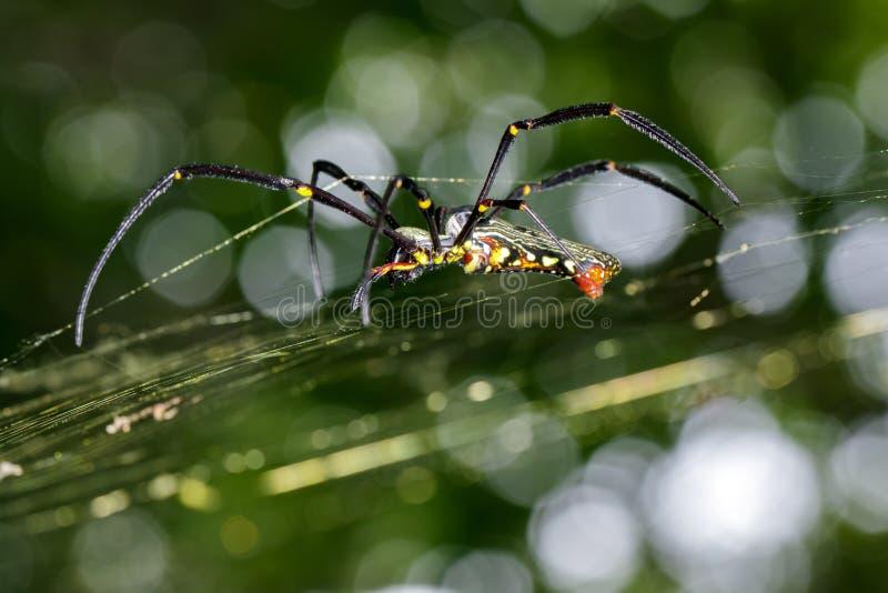Bilden av spindeln Nephila Maculata, Gaint Lång-snackade Orb-vävaren royaltyfri bild