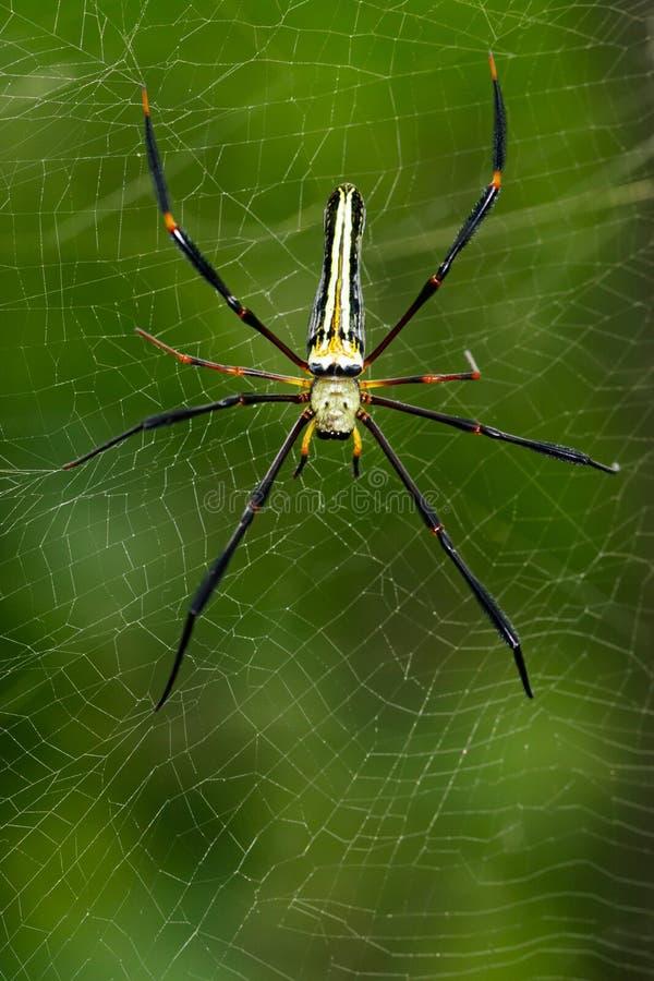 Bilden av spindeln Nephila Maculata, Gaint Lång-snackade Orb-vävaren arkivfoton