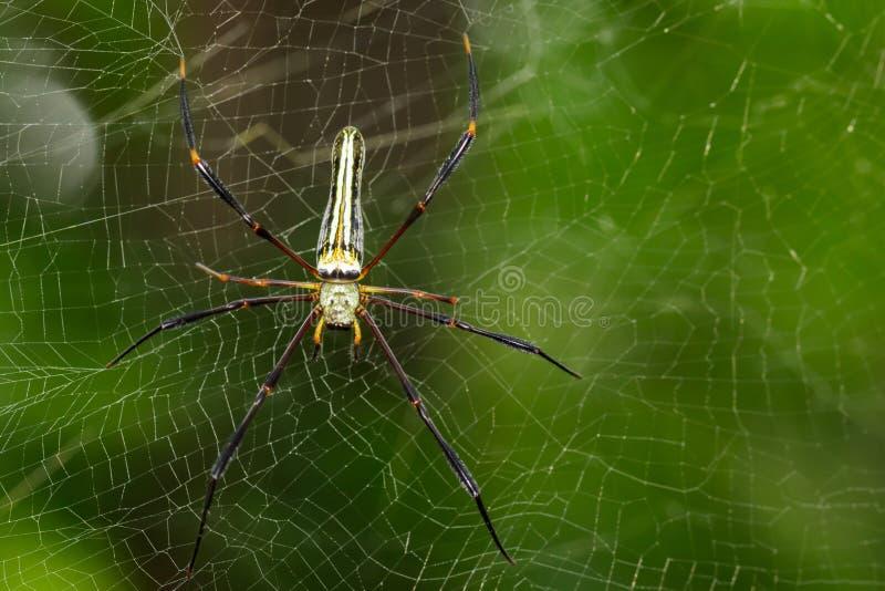Bilden av spindeln Nephila Maculata, Gaint Lång-snackade Orb-vävaren royaltyfri foto