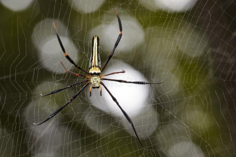 Bilden av spindeln Nephila Maculata, Gaint Lång-snackade Orb-vävaren royaltyfri fotografi