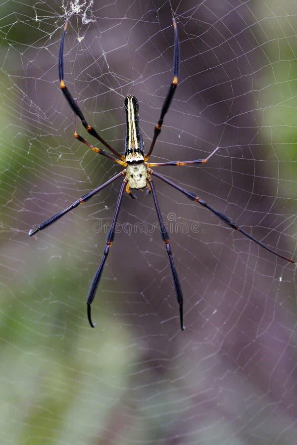 Bilden av spindeln Nephila Maculata, Gaint Lång-snackade Orb-vävaren royaltyfria foton