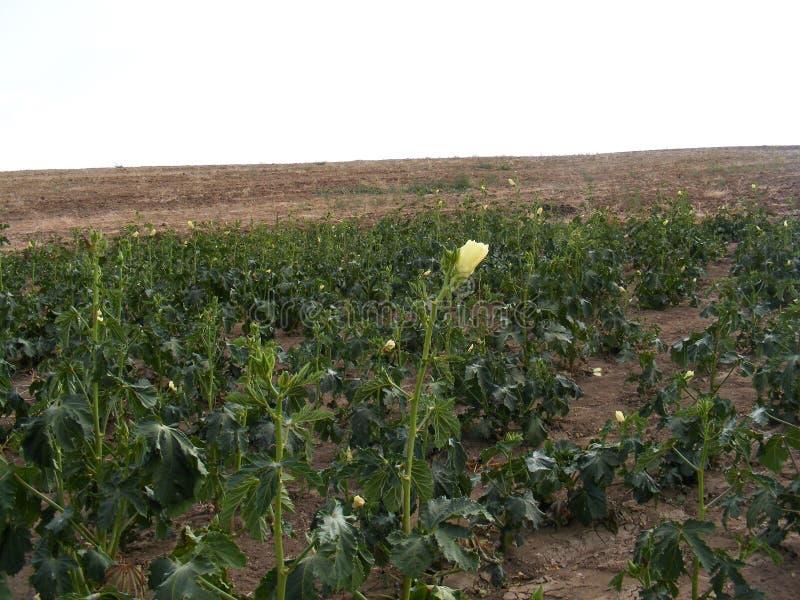 Bilder der Anlage des essbaren Eibisches auf dem Feld für Werbungen von Fruchtproduzenten stockbild