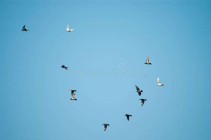 Bildung von Fliegentauben im Himmel lizenzfreie stockfotografie