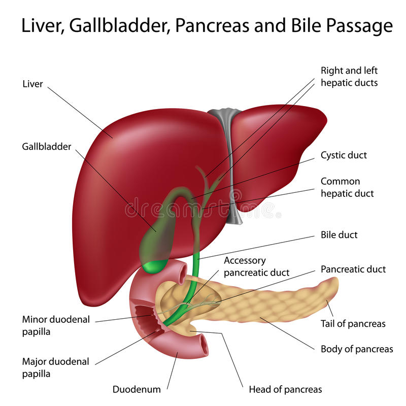 Bile passges, textbook accuracy,labeled version stock illustration