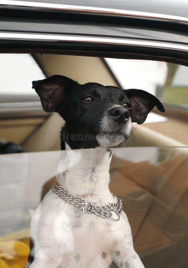 bilhundfönster royaltyfria foton