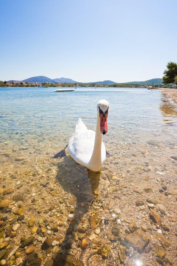 Bilice, Knin, Chorwacja - młody ciekawy łabędzi przyglądający za obrazy royalty free