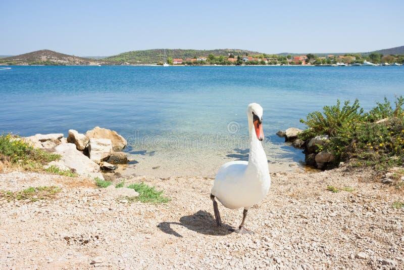 Bilice, Sibenik-Knin, Croácia - uma cisne branca que anda para cima a praia foto de stock royalty free