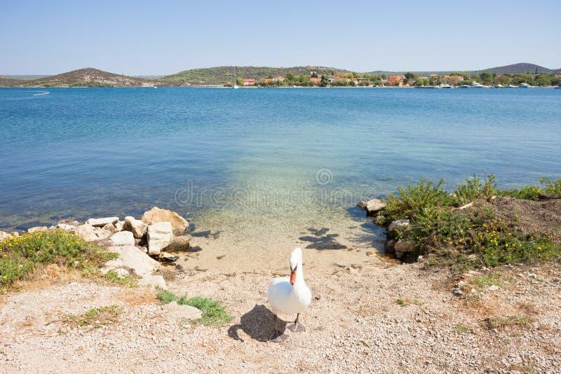 Bilice, Sibenik-Knin, Croácia - uma cisne que atua como um depositário de porta imagens de stock royalty free