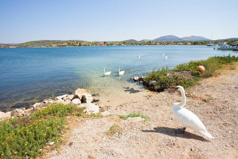 Bilice, Sibenik-Knin, Croácia - uma espiga da cisne que espera sua família na praia fotografia de stock royalty free