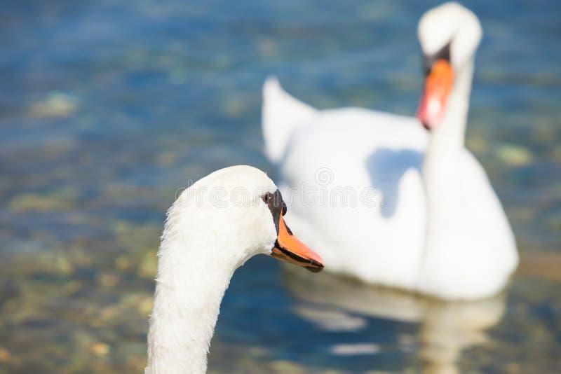 Bilice, Sibenik-Knin, Croácia - uma espiga da cisne que olha uma pena da cisne fotos de stock royalty free