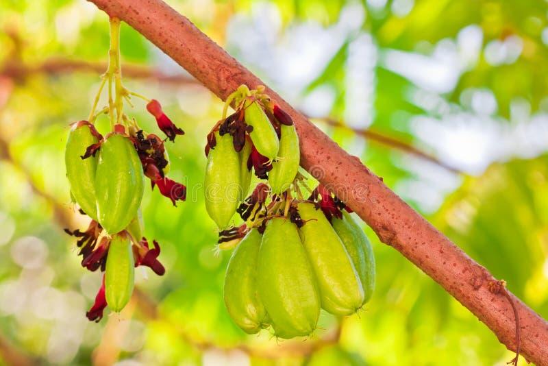 Download Bilimbi果树 库存图片. 图片 包括有 果子, 工厂, 绿色, 结构树, 黄瓜, 热带, 健康, 照亮 - 22357273