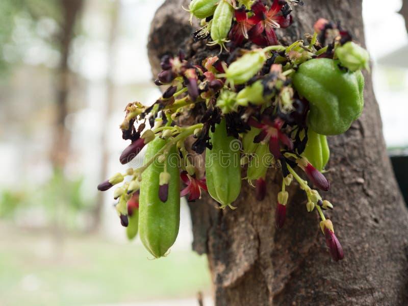 Bilimbi op de boom stock afbeelding