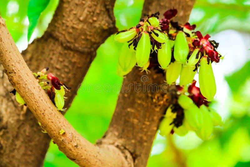 bilimbien är ett fruktlagerträd, det är ett relativt carambolaträd fotografering för bildbyråer