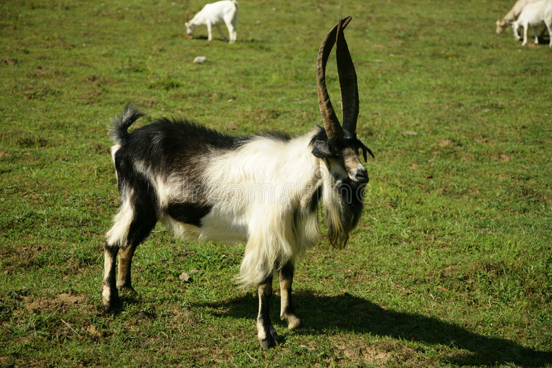 Download Bill goat on the pasture stock photo. Image of dairy, fauna - 7018788