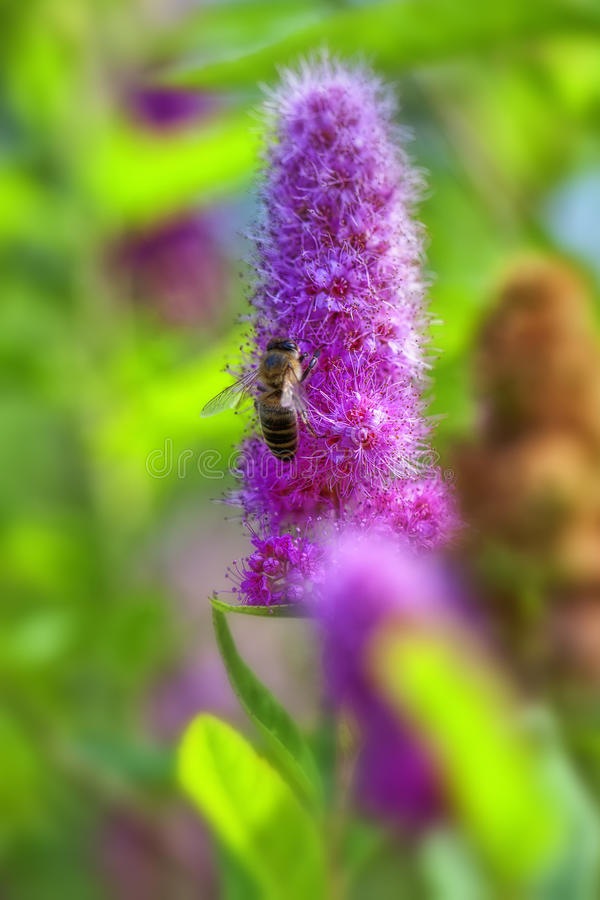 Billards Spirea - abeille image stock