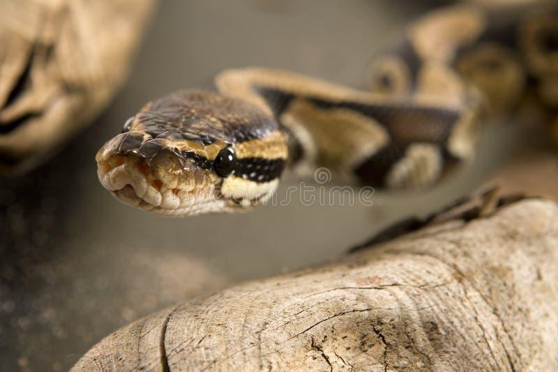 Bille ou python royal images libres de droits