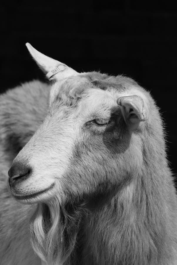 Billy Goat foto de stock royalty free
