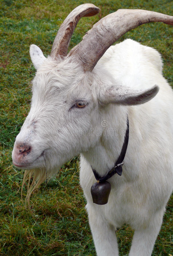 Free Billy Goat Royalty Free Stock Photography - 11557357