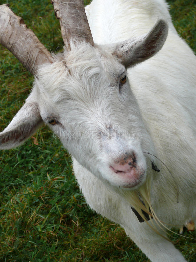 Free Billy Goat Royalty Free Stock Photo - 11557405
