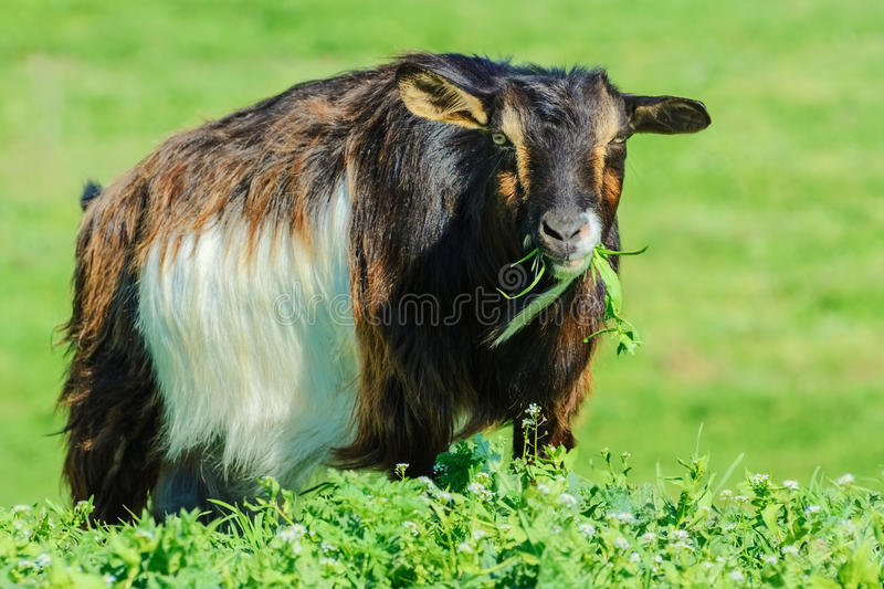 Billy Goat foto de stock royalty free