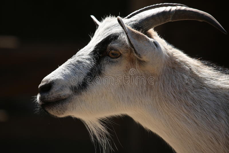 Billy Goat imagens de stock royalty free