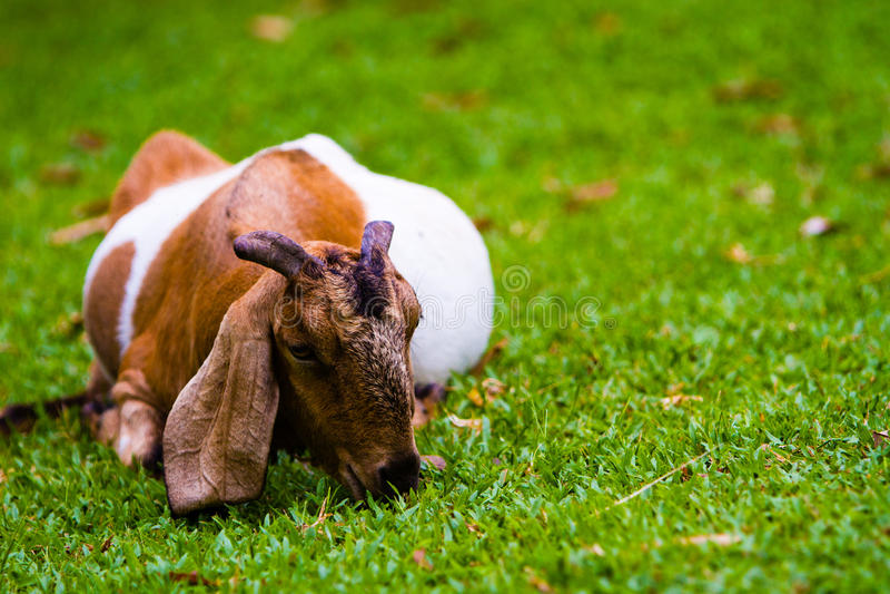 Billy Goat lizenzfreies stockbild