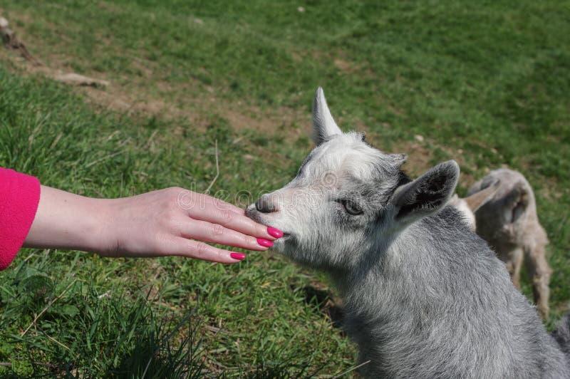 Billy Goat fotografia de stock