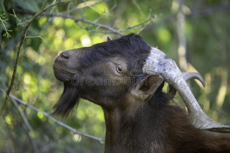 Billy goat with big horns close up. stock photos