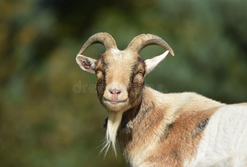 Billy Goat/cabra masculina fotografia de stock