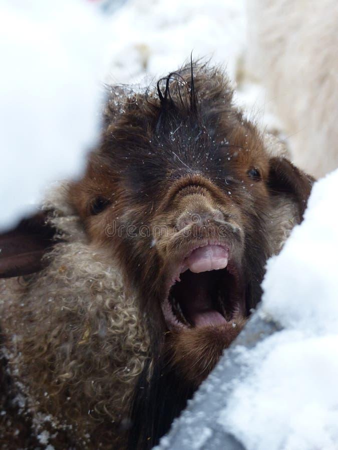 Billy Goat de bocejo foto de stock