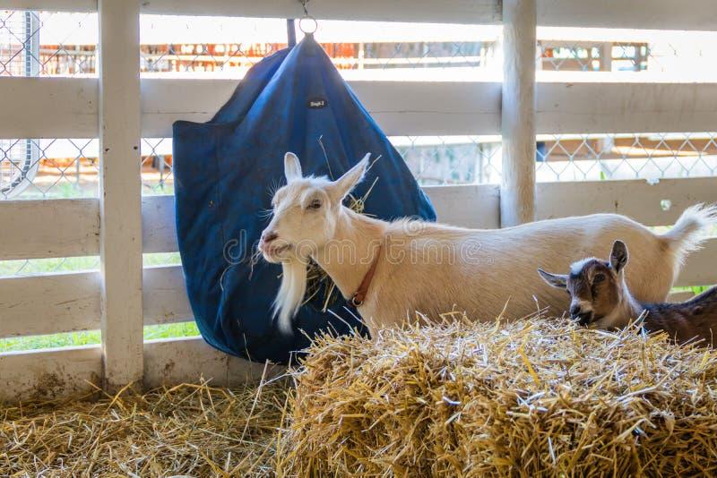 Billy Goat e criança com pele e o cavanhaque brancos em uma pena na feira de condado foto de stock royalty free