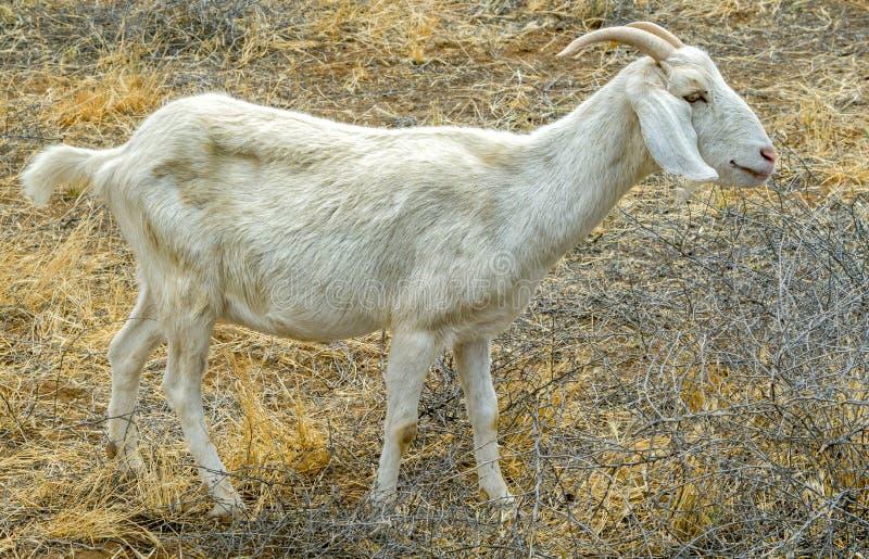 Billy Goat Eating Brush no campo imagens de stock
