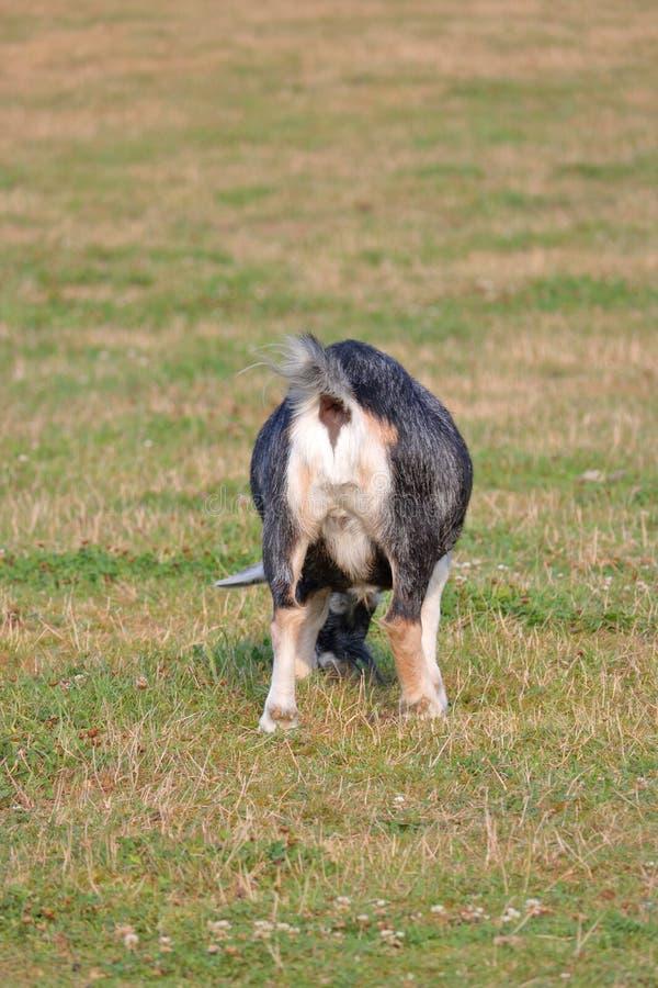 Billy Goat femminile al contrario fotografie stock