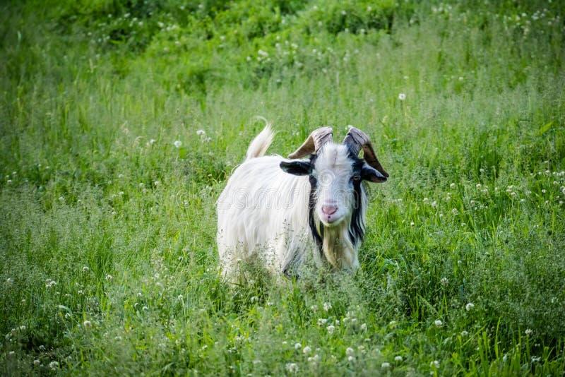 Billy Goat in Ham Lake, Minnesota immagine stock