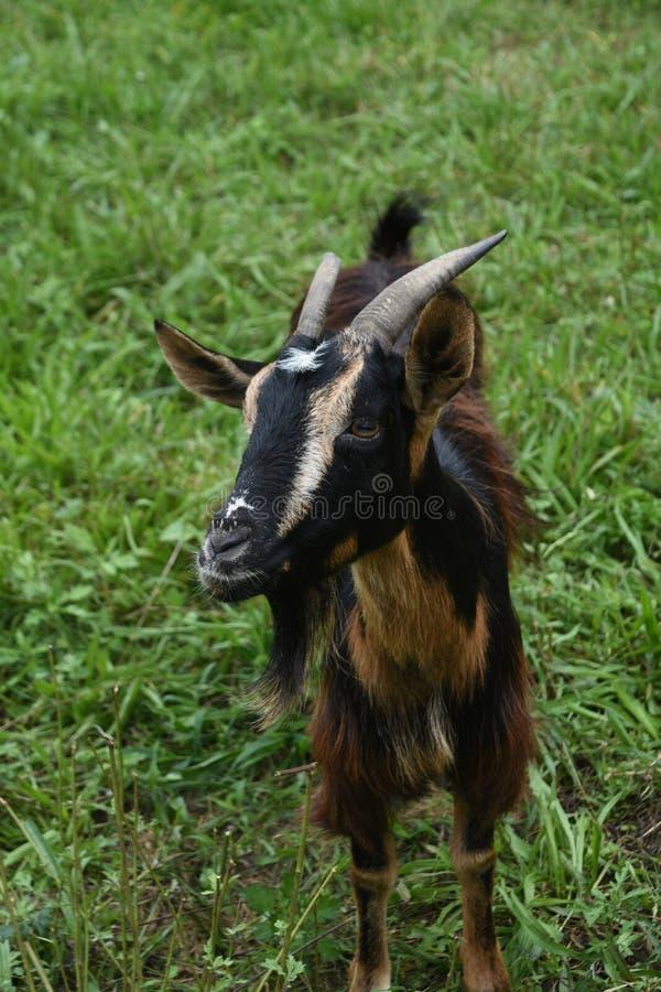 Billy Goat hecho frente dulce con la piel sedosa larga en un día de verano imágenes de archivo libres de regalías