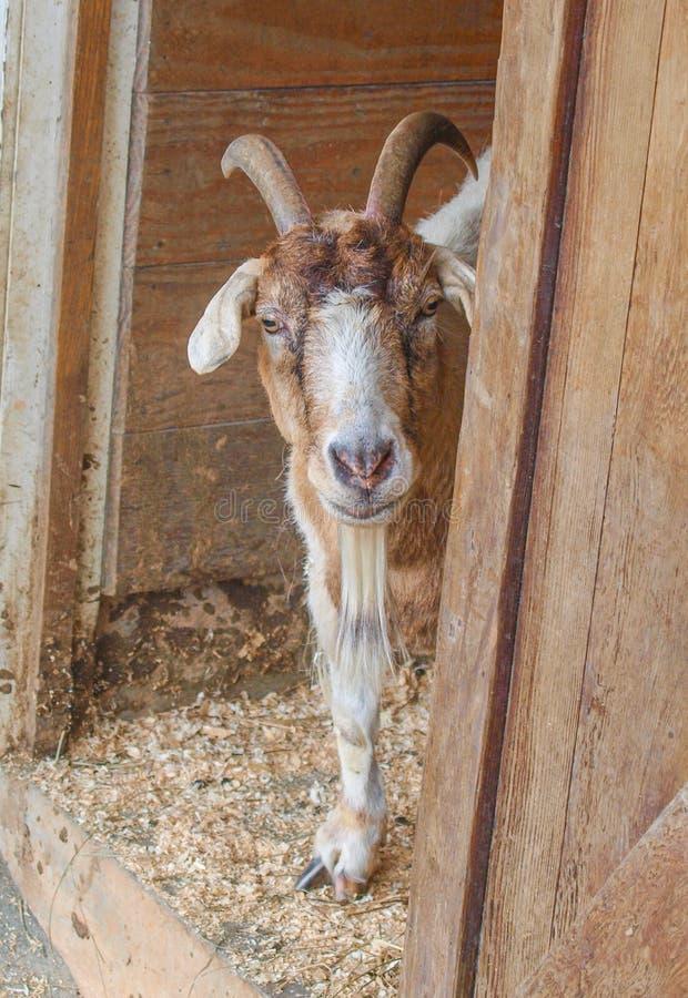 Billy Goat Looking Outside der Scheune stockfoto
