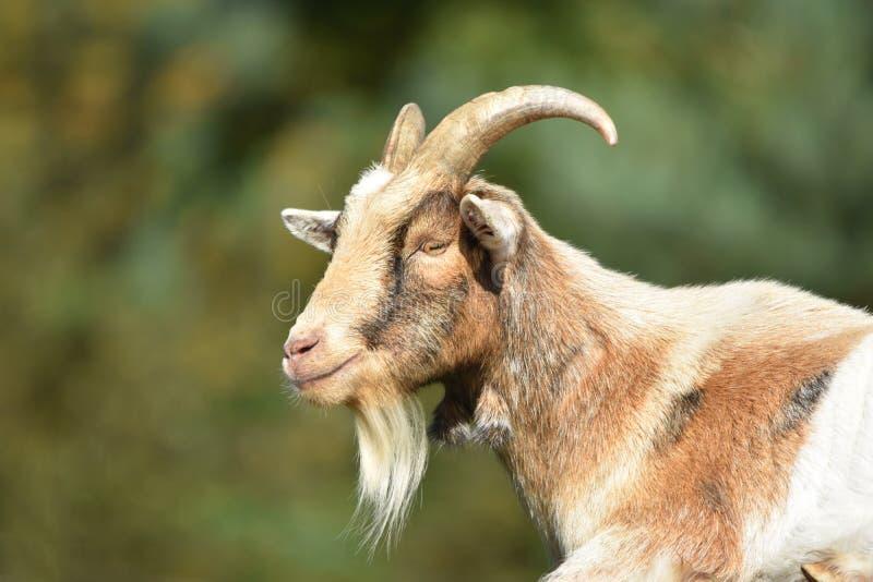 Billy Goat/männliche Ziege lizenzfreie stockfotos