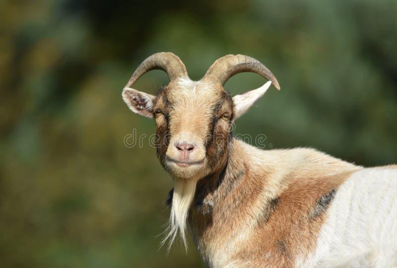 Billy Goat / Male Goat stock photography