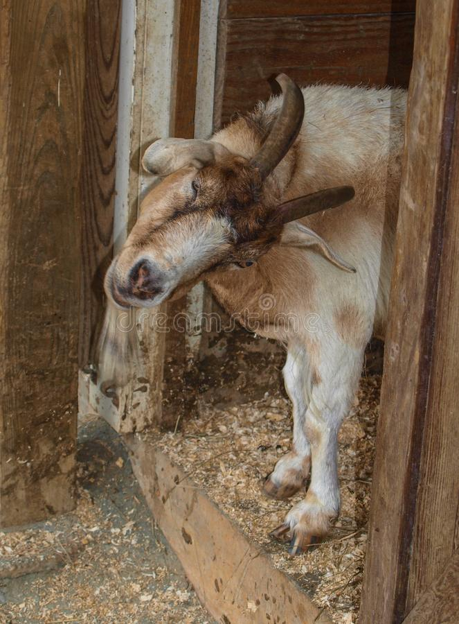 Billy Goat pas aussi amical image stock