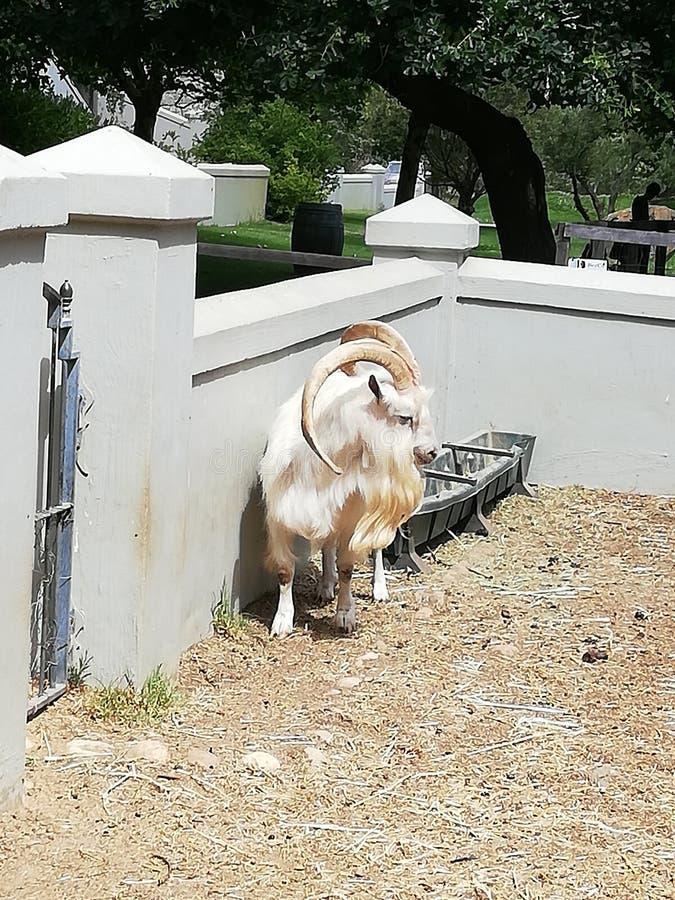 Billy Goat Senior Fairview fotografie stock