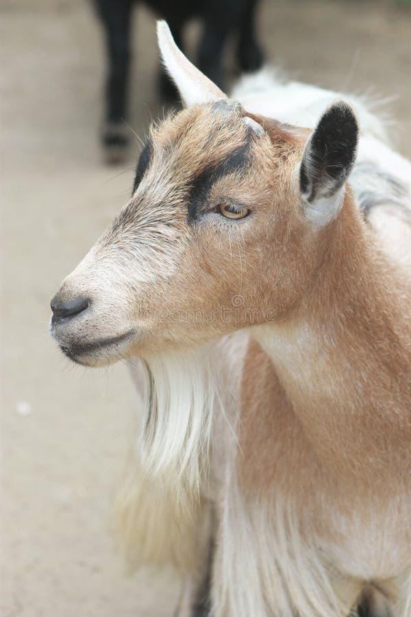 Billy Goats Gruff foto de stock royalty free