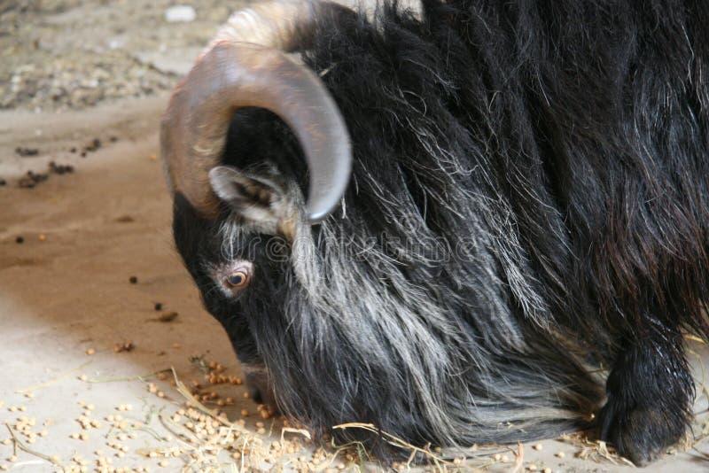 Billy la cabra de billy del pigmy imagen de archivo