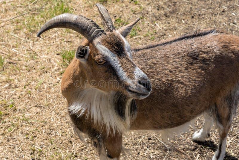 Billy marrom e branco masculino da cabra com grandes chifres fotografia de stock
