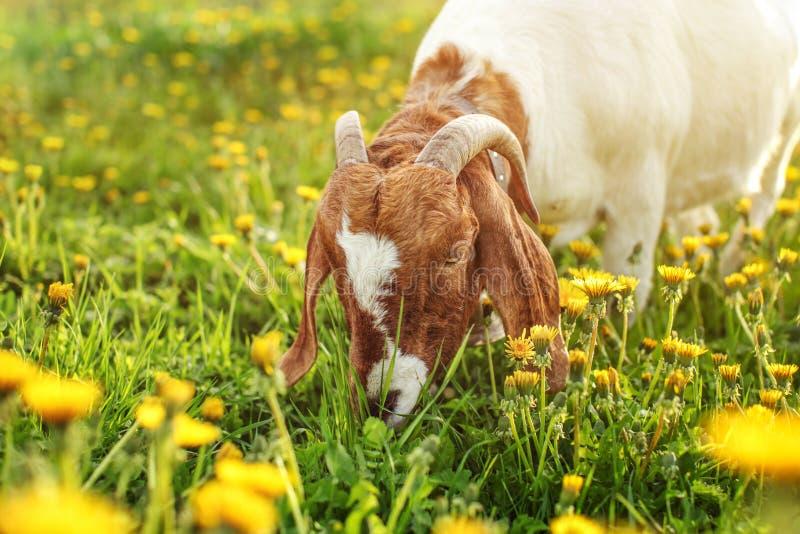Billy masculino da cabra nubian Anglo que pasta no prado completamente do dandeli imagens de stock royalty free