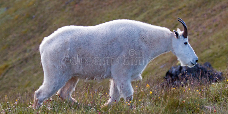 Billy Mountain Goat masculino no monte/Ridge do furacão no parque nacional olímpico no porto Angeles Washington State foto de stock royalty free