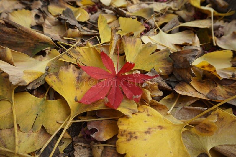 Biloba и кленовые листы гинкго, пейзаж осени, вянуть ветви и листья меньший красный цвет! стоковое фото rf