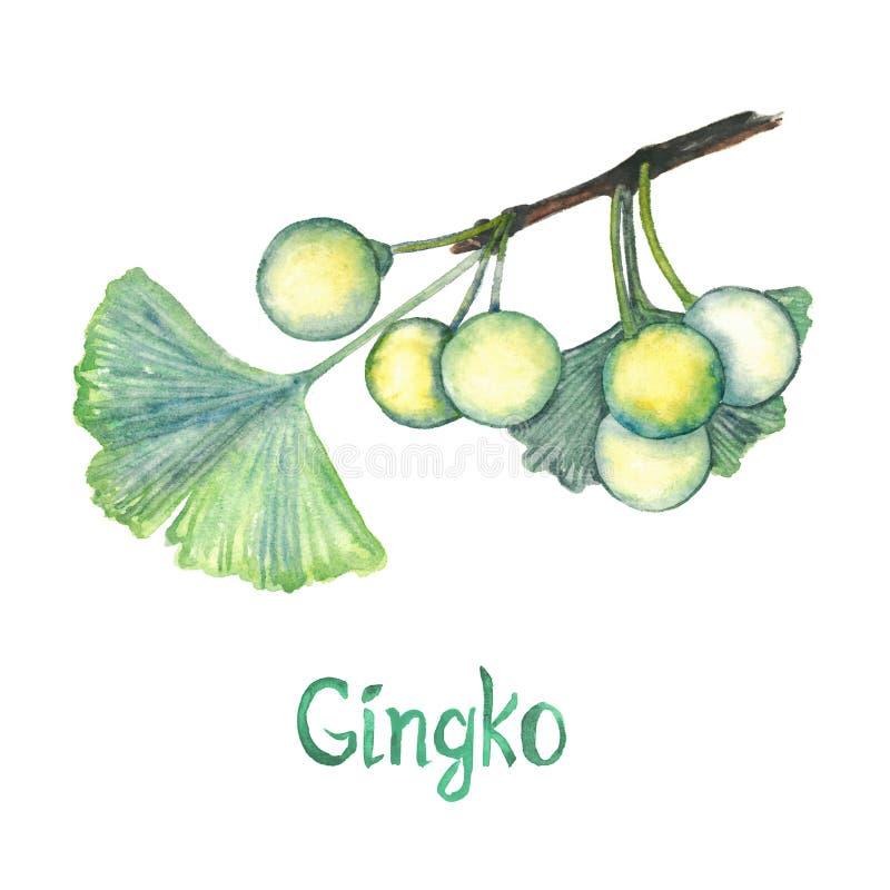 Biloba гинкго гинкго или лист дерева maidenhair и семя, рука покрасили иллюстрацию акварели изолированный иллюстрация вектора