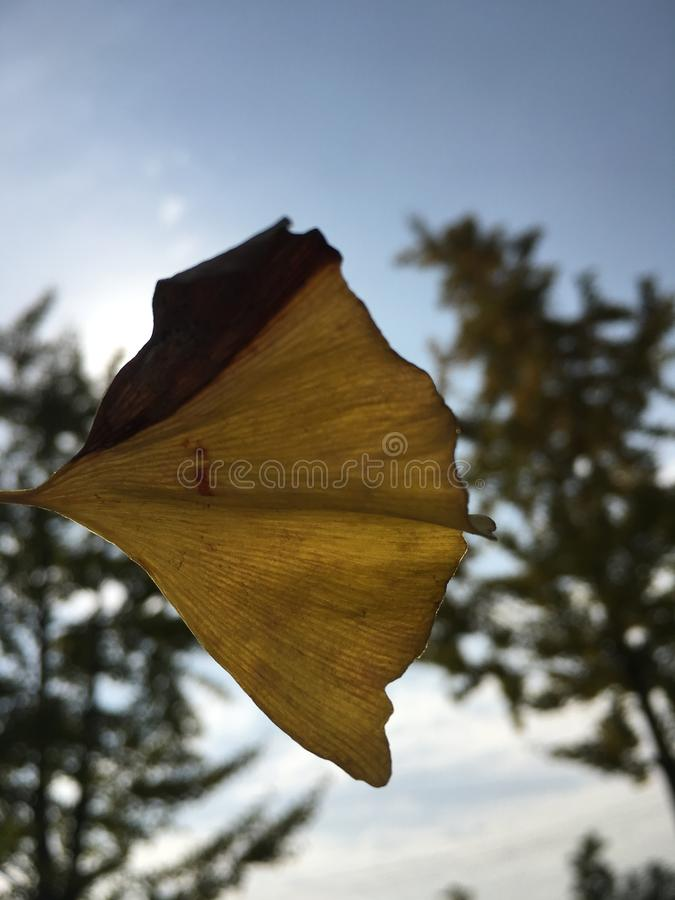 Biloba гинкго листьев осени стоковое изображение rf
