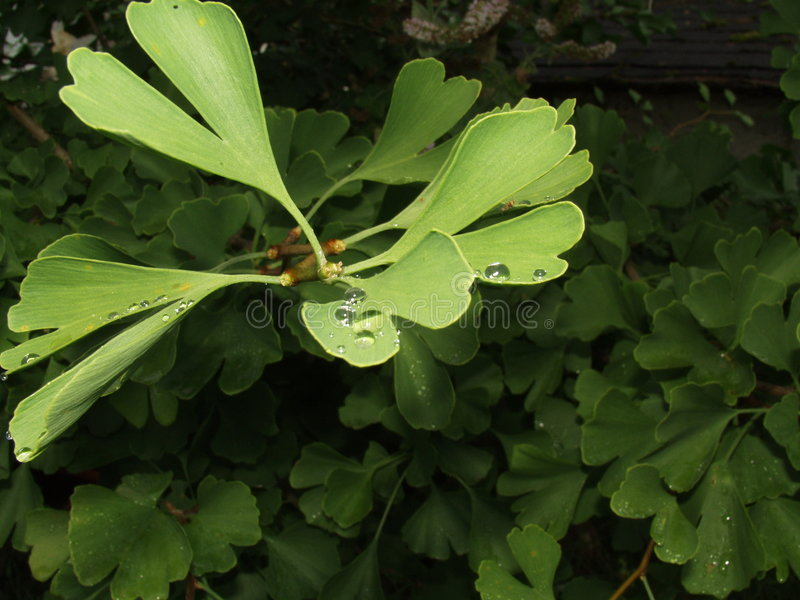 Biloba de Gingko photo libre de droits