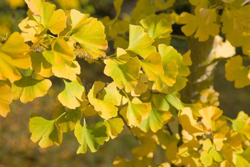 Biloba de Ginkgo ; feuillage d'automne photo stock